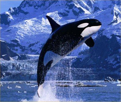 killer-whales