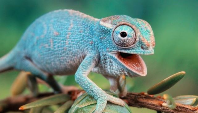 chameleon-027
